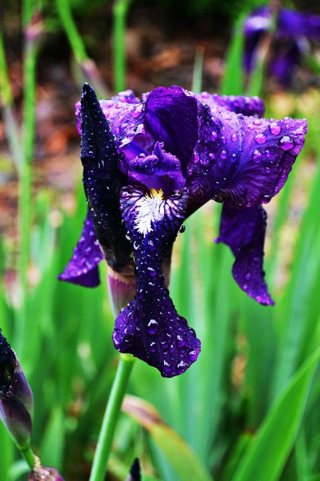 Iris me purple